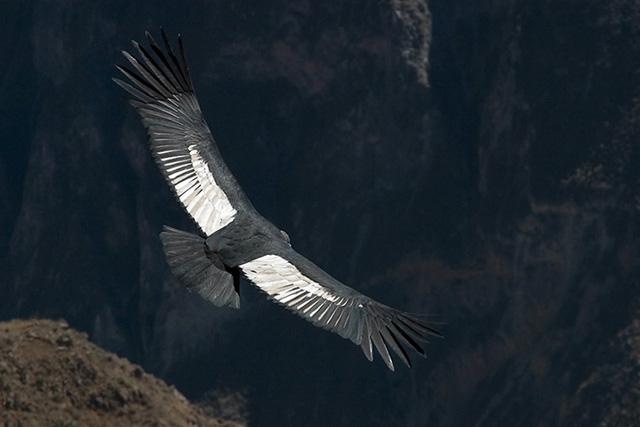 Полета на кондора в каньона Колка